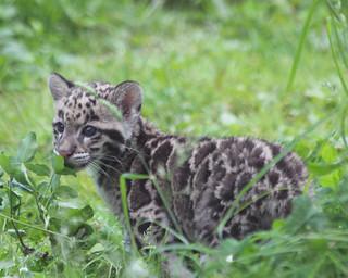 Clouded leopard cub 41
