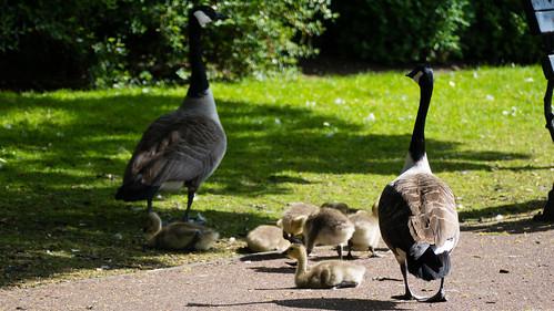 Warning, goslings crossing!