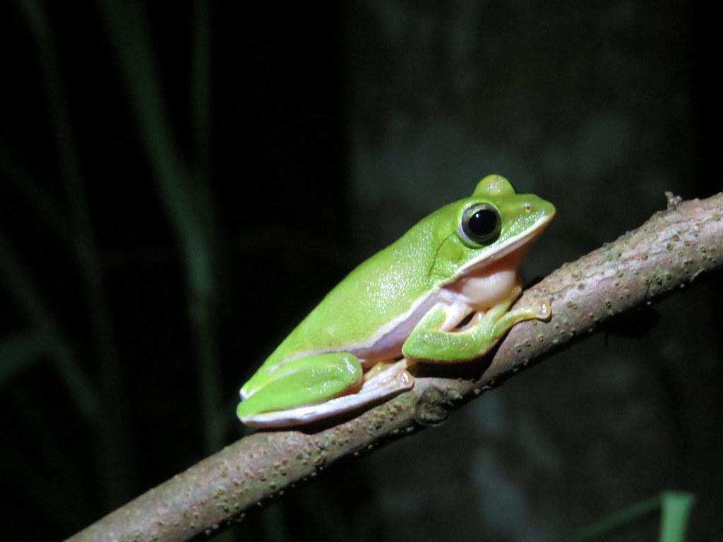 2019年諸羅樹蛙大調查,一個晚上三個縣市(雲嘉嘉)共數出4098隻諸羅樹蛙。攝影:賴榮孝