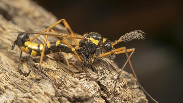 Wasp mimicry crane fly (lat. Ctenophora flaveolata)