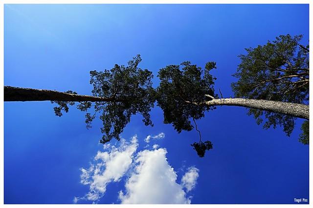 Bäume ... Bis zu den Wolken