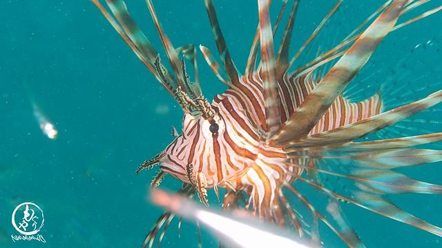 小魚狙うハナミノカサゴ