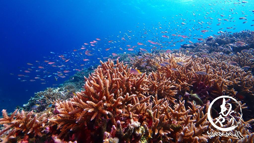珊瑚とスズメダイ
