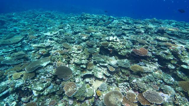 浅場も少しは珊瑚が広がってきている。。??