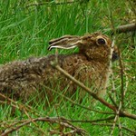 Brown Hare..x