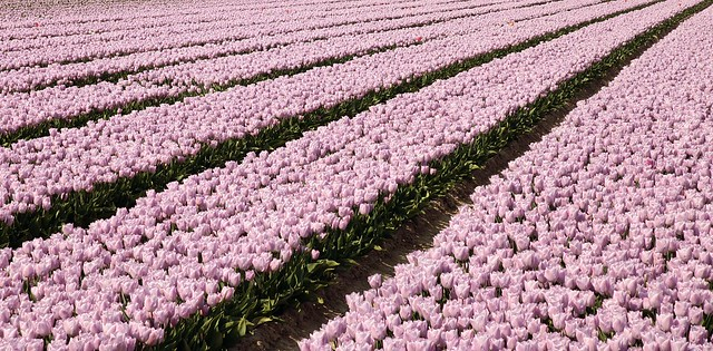 tulips without borders