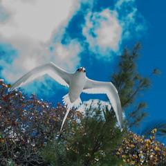 Longtail, Bermuda