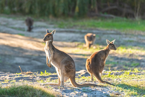 Australind Roo's | by Shootmi Photographics