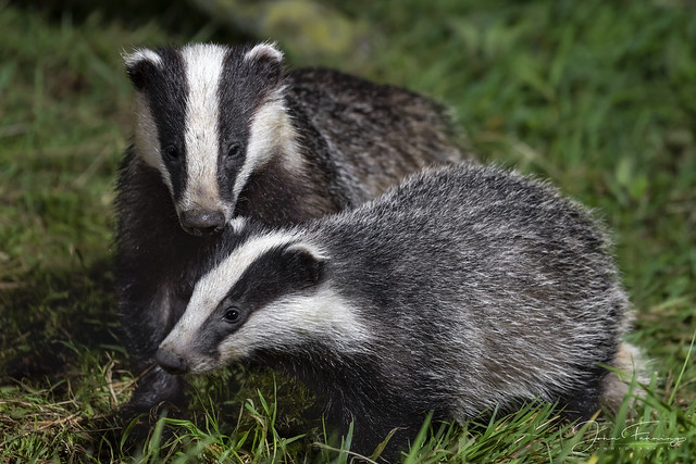 Badger Buddies