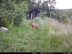 Trail Camera / Reh / deer