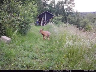 Trail Camera / Reh / deer