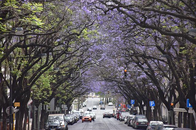 Jacaranda avenue in June, Lisbon