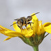 Leafcutter bee_7156