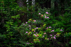 Redwood and Rhododendron