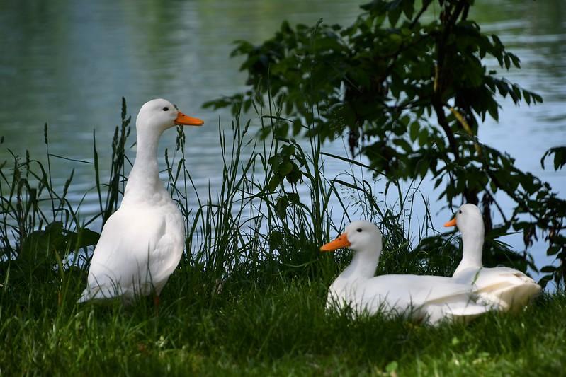 Ducks 04.06 (3)