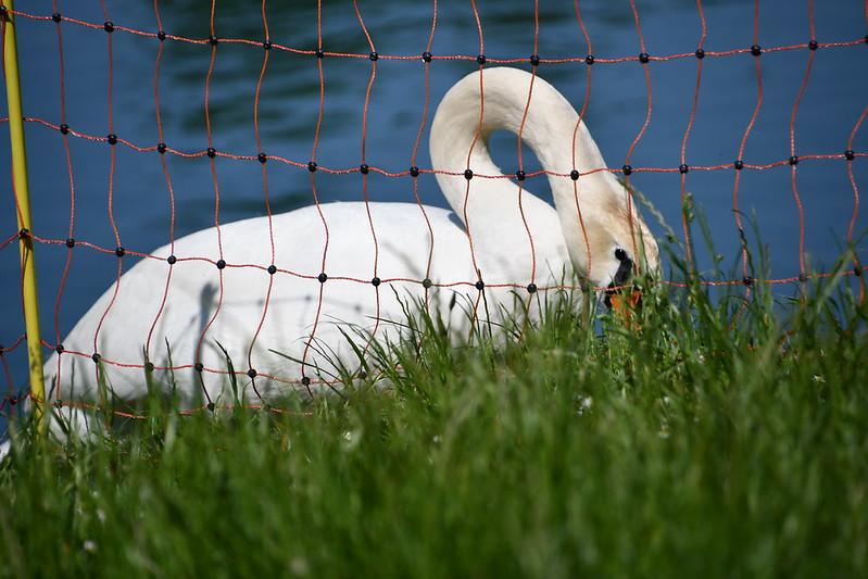 Swan 04.06.2019