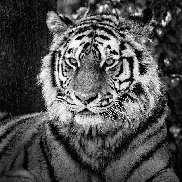 Marty Amur Tiger