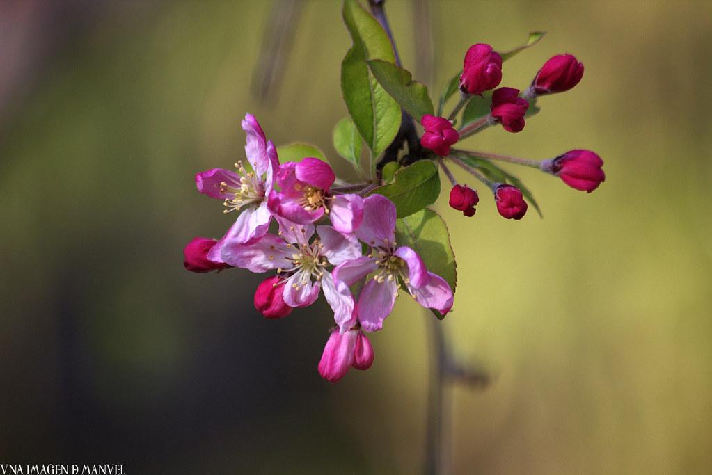 Jardines de Aranjuez , flores de manzano