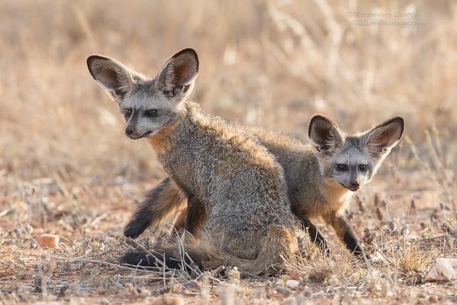 Bat-eared Fox cub and mum - Otocyon megalotis