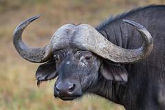 Previous: Big Buffalo Bull