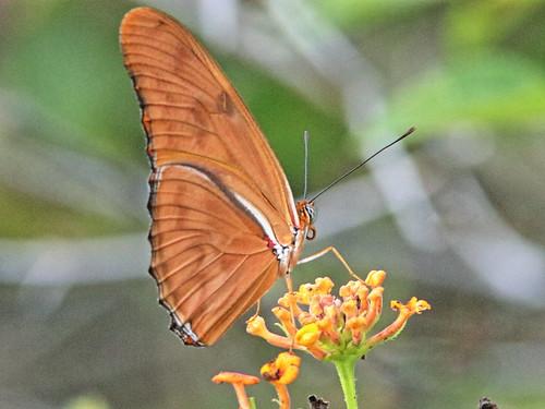 Julia heliconian - Dryas iulia - male 01-20190603