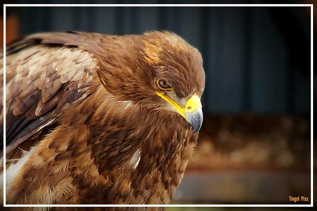 Eagle // Steinadler