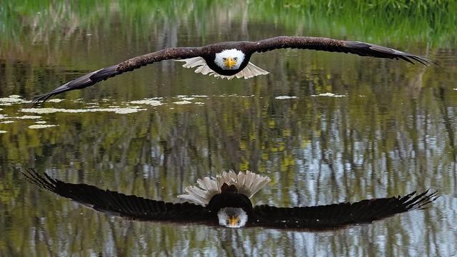Bald Eagle reflection