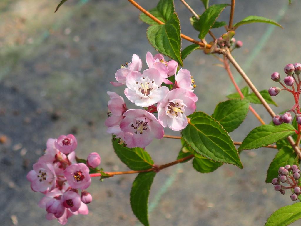 Deutzia hookeriana