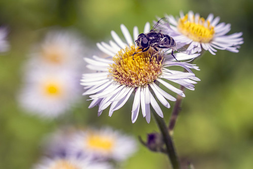 wild daisies & fly | by Artrocity