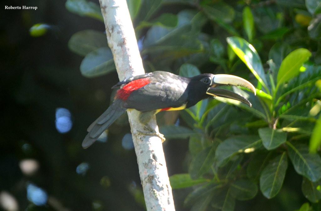 araçari-de-bico-branco (Pteroglossus aracari) - Black-necked Aracari