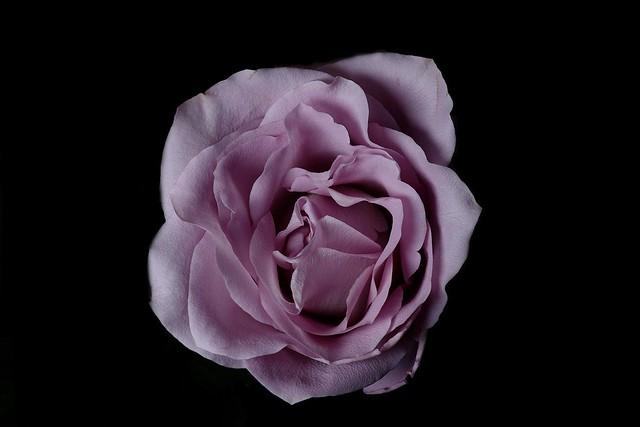365 - Image 155 - Rose...