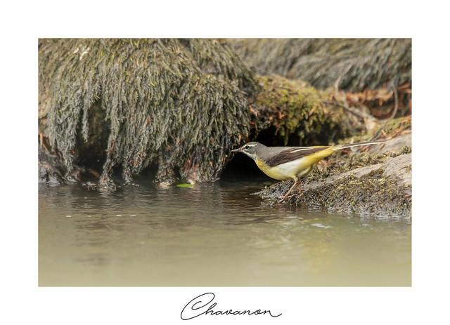 Bergeronnette des ruisseaux (sur le Chavanon)