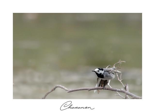 Bergeronnette grise (sur le Chavanon)
