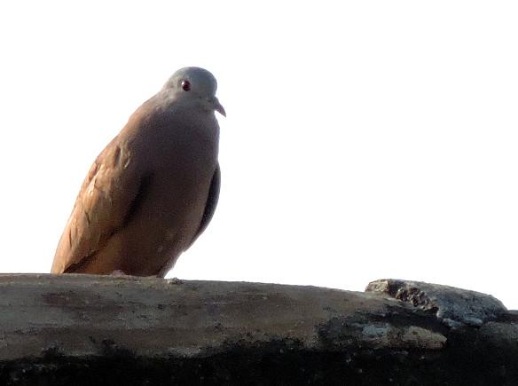 Ruddy Ground Dove, Columbina talpacoti