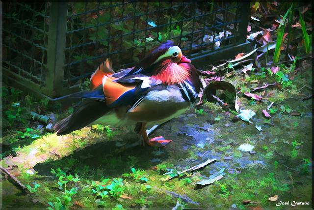 IMG_1813_Mandarin_Duck