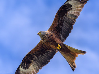 A Red Kite flies by