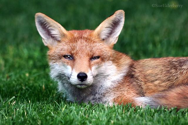 foxy nap