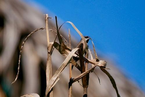 Lepidopygia nana Iharana 280419 AV-112rc