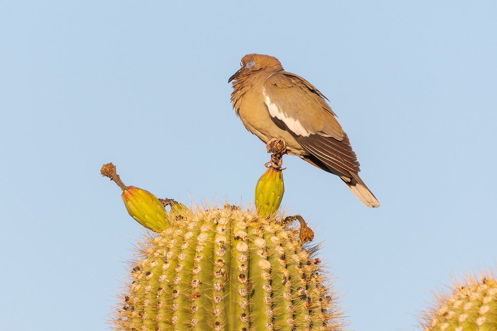 A white-winged dove closes its eyes while perching on unripened fruit atop a saguaro on the Latigo Trail in McDowell Sonoran Preserve in Scottsdale, Arizona in July 2018