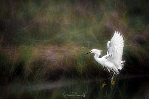 audubonsociety bird connecticutphotographer d750 egrettathula landscapephotographer naturephotographer nikon shorebird snowyegret audubon avian digital topazstudiocreations