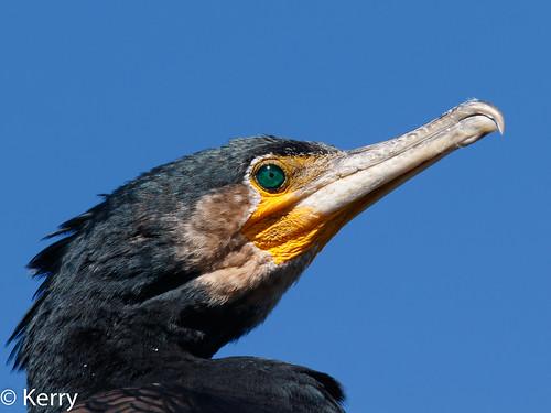 australia headshot cormorantgreat 2019 birds lakesentrance vic phalacrocoraxcarbonovaehollandiae inexplore