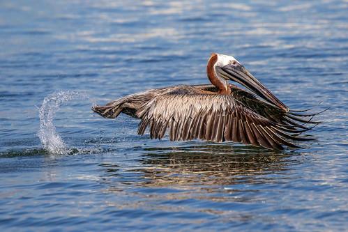 outdoor seaside shore sea water nature wildlife 7dm2 7d ii ef100400mm ocean canon florida bird bif flight