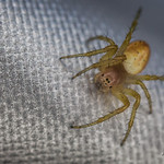 An American House Spider