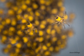 Yellow and Black spider with all its brothers and sisters.