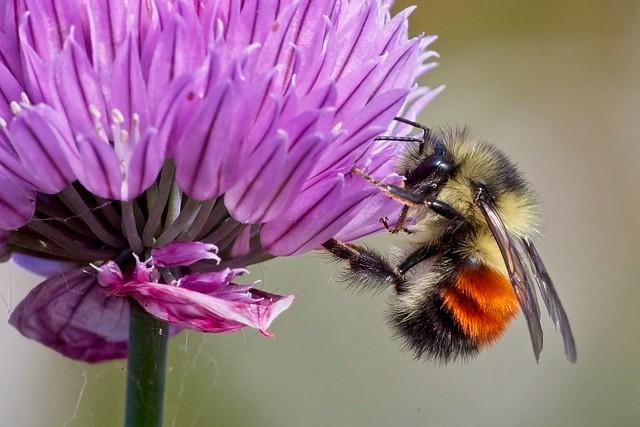 Black-tailed Bumblebee