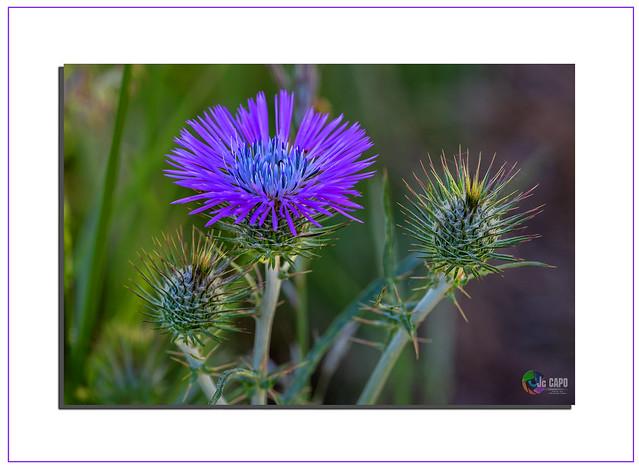 Cirsium vulgare :La fleur de chardon construit un château Elle monte aux échelles du vent.  De Paul Éluard