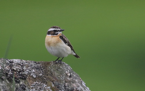 Whinchat male | by themadbirdlady