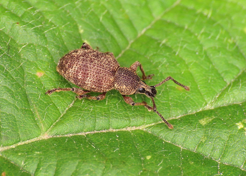 Clay-coloured Weevil - Otiorhynchus singularis