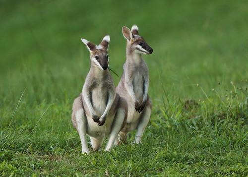 macropusparryi whiptailwallaby prettyfacedwallaby borumbadam queensland australia