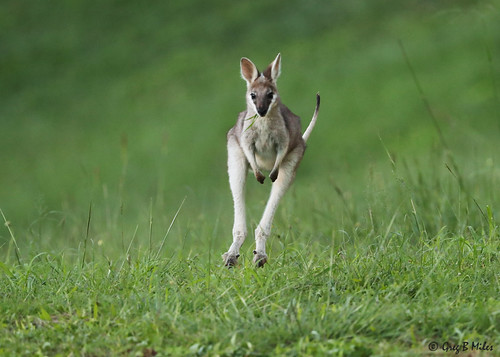 prettyfacedwallaby whiptailwallaby macropusparryi borumbadam queensland australia